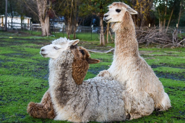 alpaca-threesome-1-of-1